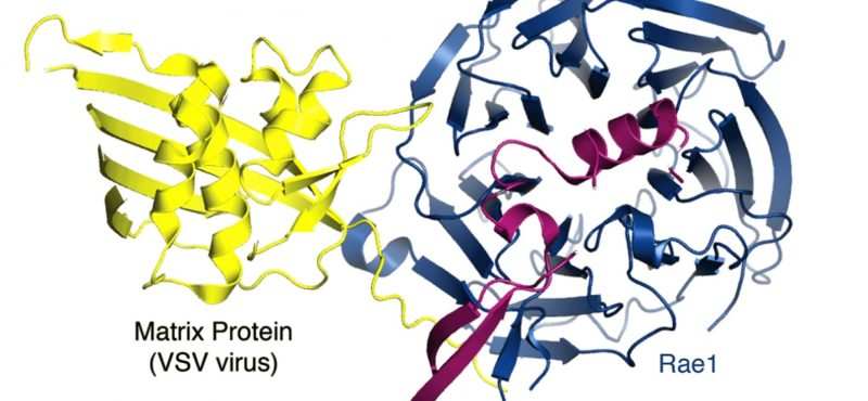 The viral Matrix protein inhibits host gene expression by blocking the function of mRNP nuclear export factors.