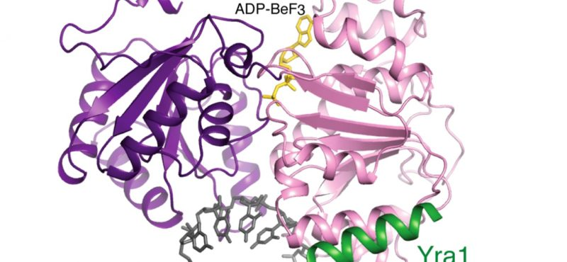 The ATPase is in act of loading an export factor onto RNA.